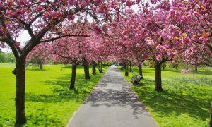 Cherry Blossom - Greenwich Park