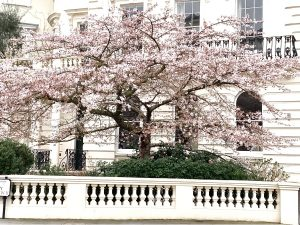 Cherry Blossom Notting Hill - Stanley Crescent